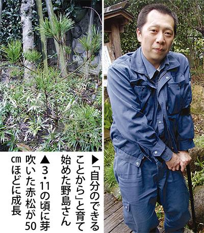 須賀川の赤松を栽培
