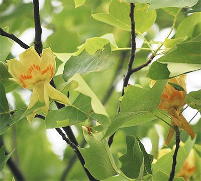 チューリップポプラが開花