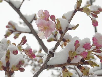 雪に負けず開花