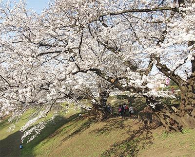 老齢の桜、植え替えへ