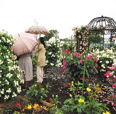 16日にバラ祭り