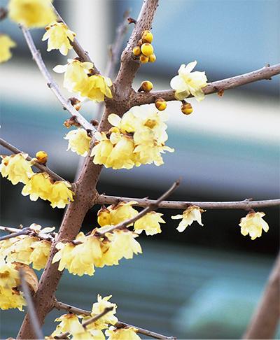 谷戸山のロウバイ開花