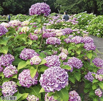 紫陽花、梅雨に彩り
