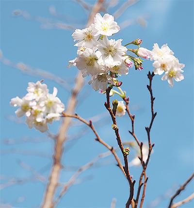十月桜 花開く
