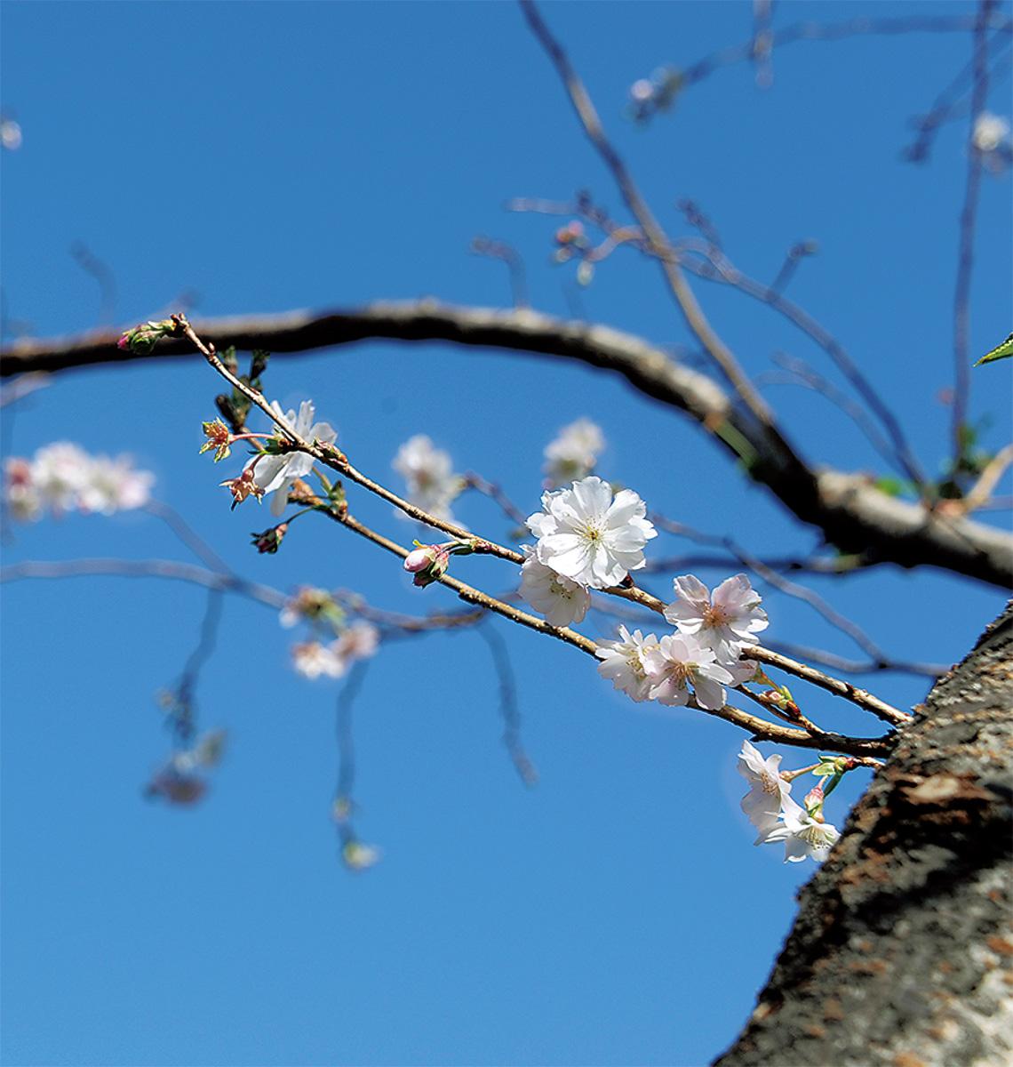 サクラを楽しむ小春日和