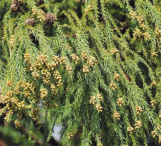 枝先端部にあるのが花粉を飛散する雄花