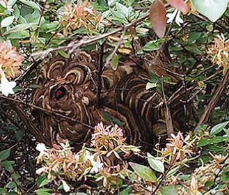 依胡田公園でみつかったスズメバチの巣