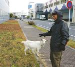 ヤギと散歩する宮村さん