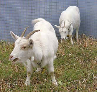 """""""活躍""""した2頭のヤギ"""