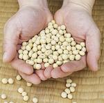 収穫された津久井在来大豆