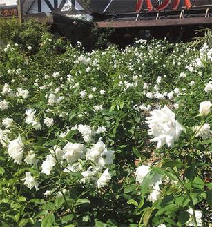 現在は秋バラが見ごろのローズガーデン