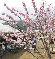 小鮎川に「春めき」開花