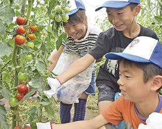 トマトの収穫を体験する子どもたち(写真提供/JAあつぎ)