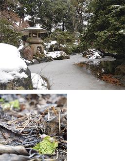 上)静寂に包まれた岸邸の庭/下)凍てつく地面から健気に顔を出す春の使者=ともに2月2日