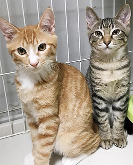 不妊手術のために一時捕獲したが、幼すぎてそのまま保護された、外で暮らしていた猫(清川しっぽ村提供)