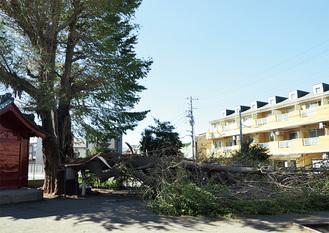 痛々しい姿の熊野神社のイチョウ=10月1日昼12時42分撮影