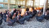 """""""黒い鶏が産む赤い卵"""""""