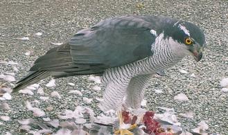 ハトを捕食するオオタカ(=内田さん提供)