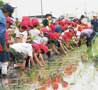 一生懸命に苗を植える児童たち