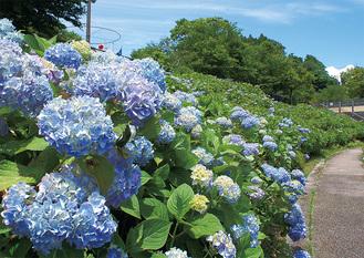 湖畔園地大階段脇に咲くアジサイ(6月18日撮影)