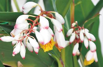 月桃は、ショウガ科・ハナミョウガ属に分類される多年草。熱帯から亜熱帯のアジアに分布し、日本では九州南部〜沖縄にかけて自生している。地下茎が地面を這って広がり、草丈は2〜3mの高さに生長する。葉は表面にツヤがあり、爽やかな香りがする