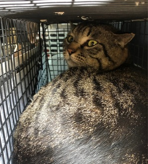 術後、捕獲器が気に入り出たがらない猫