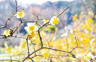 ロウバイの花(12月22日撮影)