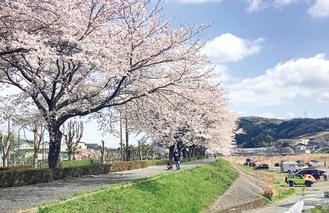 晴天に映える桜並木(3月29日撮影)