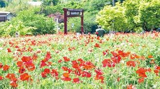 可憐な花を咲かせたポピー畑(5月8日撮影)