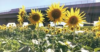 陽を浴びて鮮やかな花を咲かすひまわり=7月21日撮影