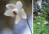 「森の妖精」が開花