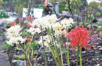 常昌院境内に咲く紅白の彼岸花(9月15日撮影)