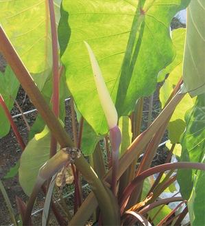 中央が里芋の花。「もう少し開くかも」と渡辺校長は話す。9/20撮影