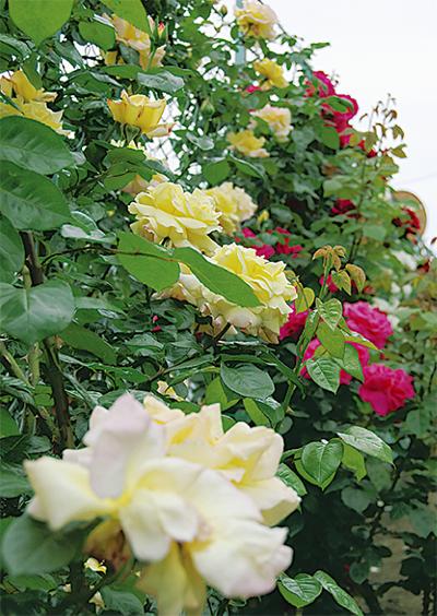 美しいバラの植栽