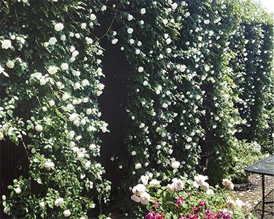 つるバラの長さ日本一