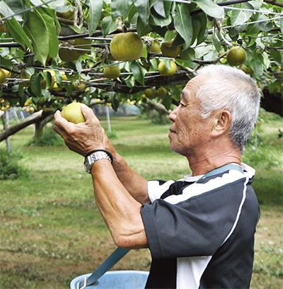 食感良い梨の出来