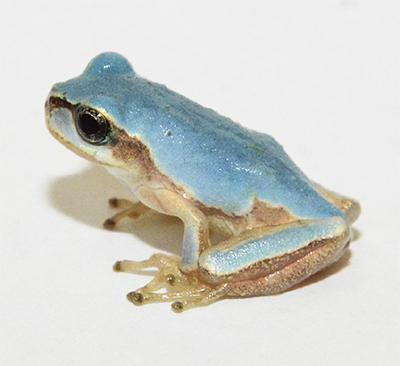 水色のカエル