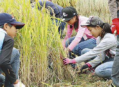 下依知の畑で稲刈り体験