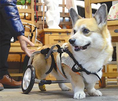 車椅子を初めて装着した、コーギーのクリム君