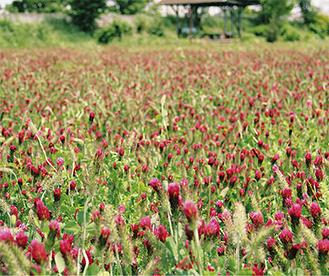 深紅の花を咲かせる。5月11日撮影