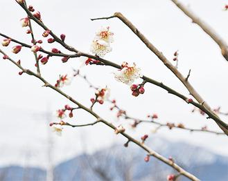 雪化粧の大山を背に白い花が咲く(1月23日撮影)