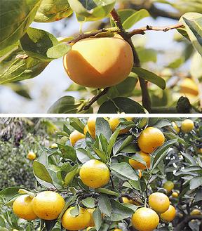 伊勢原を代表するフルーツ「柿」・「みかん」