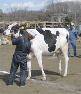 美人な牛が大集結