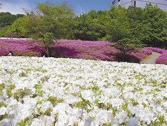 園内一面に咲き揃った色とりどりのツツジ(満開時のようす)