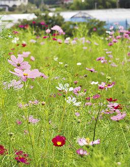 淡い色のコスモスの花(9月26日三ノ宮)