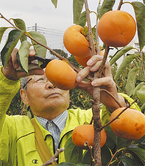 丹精込めて栽培した柿を収穫する志村さん
