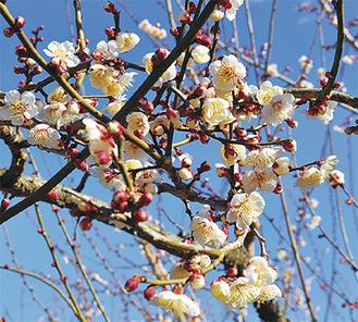 早咲きの梅が楽しめる(6日撮影)