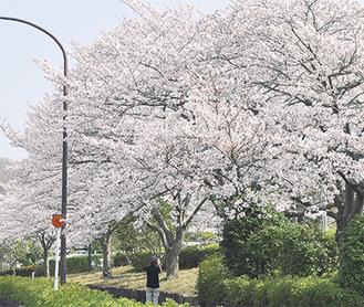 今まさに見頃の桜並木(3月28日撮影)