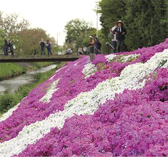 芝桜の咲く河畔(4月7日撮影)