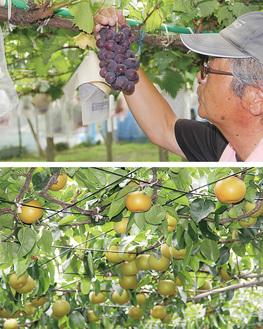 ブドウの出来を確認する多田委員長(上)と色づき始めた梨(下)